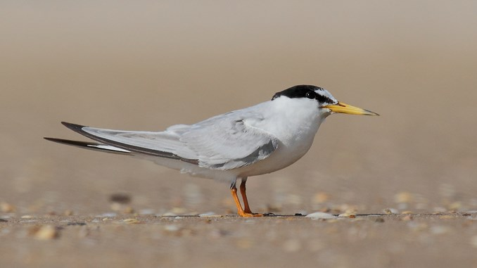 Little tern. Photo: Augustin Povedano, Wiki Commons